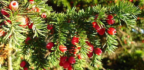 Yew_berries_-_geograph_org_uk_-_272624