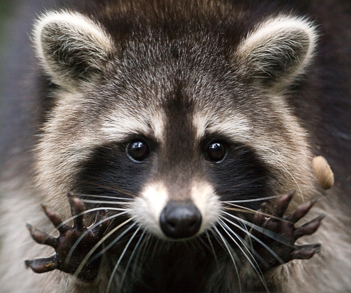 What I learned from a rabid raccoon Raccoon Face